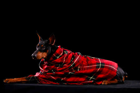 Side view of a handsome doberman pinscher lying under a red blanket on a black background. The dog poses for an autumn photo shoot in the studio. Close up. Banque d'images