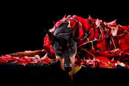Doberman pinscher of dark brown color, wrapped in a red checkered blanket, lies among the fallen leaves. Close up horizontal shot of the animal.