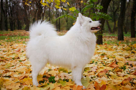 Side view of an Samoyed Spitz dog standing in a show position. A pet stands in full growth in an autumn park on fallen yellowed leaves. Close up.