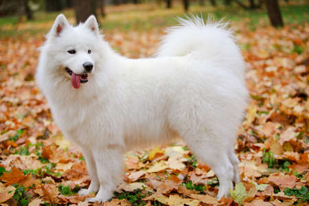 Side view of an Samoyed Spitz dog standing in full growth. A pet stands in the park on yellowed fallen leaves. She sticks out her tonguet and examines the trees surrounding her. Close up.
