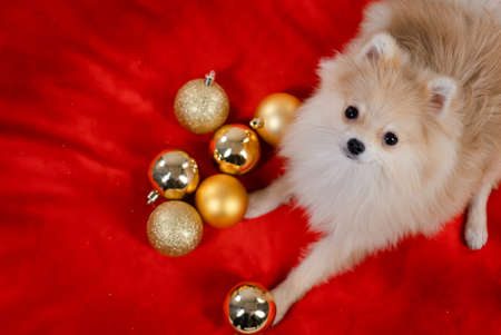 An overhead view of a pygmy Pomeranian Spitz lying on a red bedspread. The dog lifted its head up and looks into the camera, next to it are seven golden Christmas balls. Close up. Stock Photo