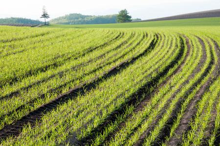 Spring wheat field 写真素材