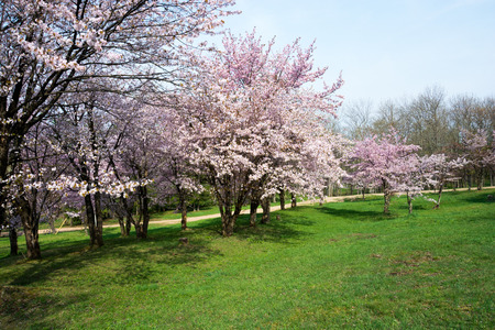 Cherry trees in full bloom 写真素材