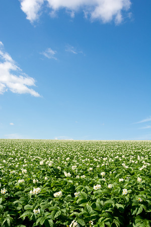 Potato field in bloom white flowers and blue sky