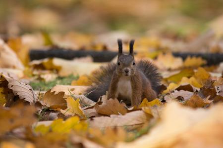 Squirrel in autumn leaves