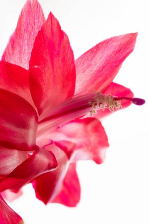 Red Cactus flower closeup 写真素材