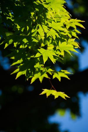 Fresh green Maple leaves