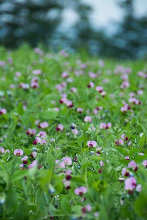 Field pea flowers