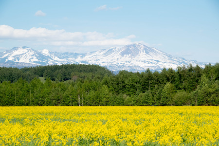 Yellow flower grasslands and snow mountains 写真素材