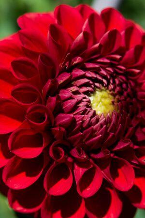 Red dahlia flower 写真素材