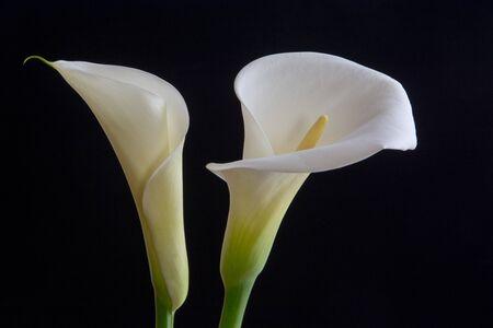 White callas on black background