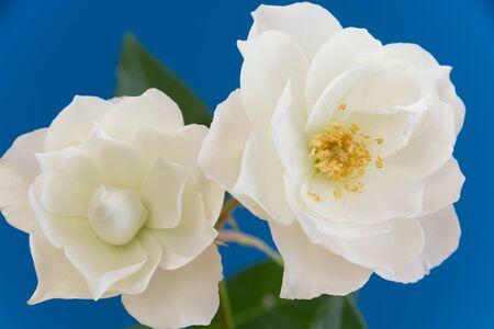 White roses on blue background 写真素材