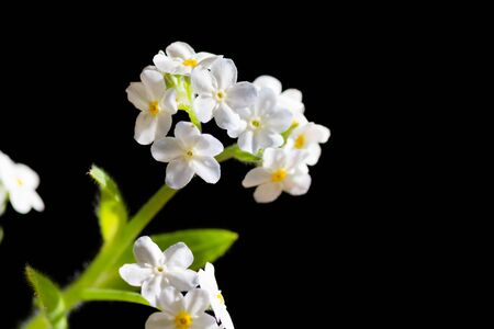 White forget-me-not on black background Stock Photo