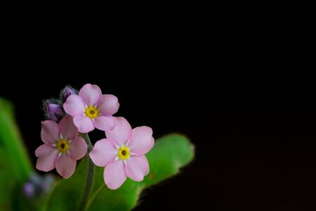 Pink forget-me-not on black background Stock Photo