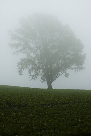 A big tree in the morning mist