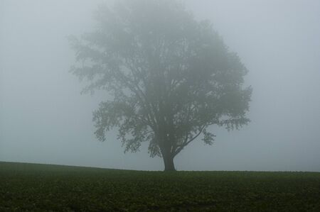 A big tree in the morning mist, Biei town