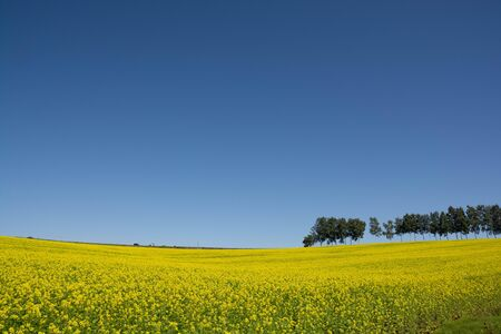 Canola flower and blue sky in Biei