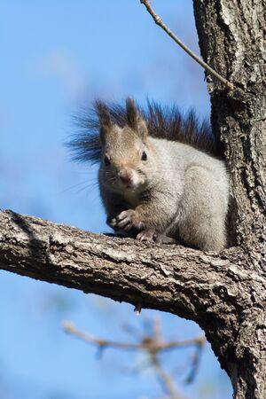 Wild squirrel on the tree in Hokkaido Japan