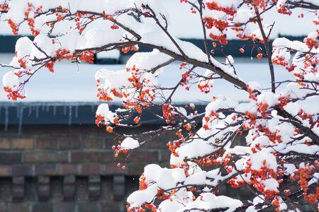 Winter rowan with red berries 写真素材