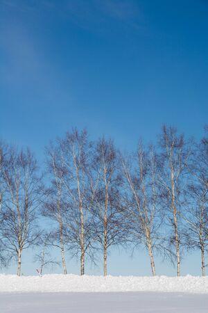 Winter birch trees and blue sky in Biei