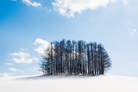 Larch forest on a hill in winter in Biei