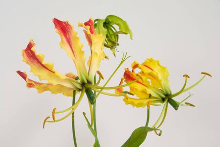 Yellow Gloriosa on white background