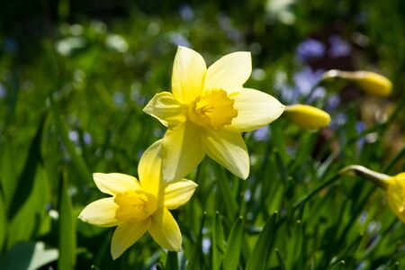 Yellow daffodils blooming in spring garden