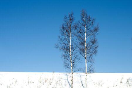 Birch on snowy field with a blue sky
