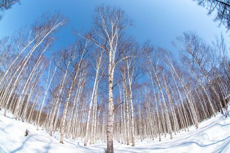 Winter birch forest with a blue sky Stock Photo