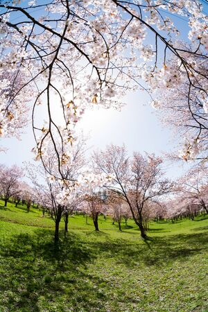 Spring park with cherry blossoms in full bloom