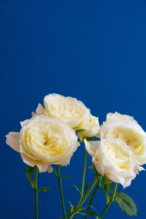 White rose on blue background