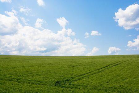 Grünes Weizenfeld mit blauem Himmel