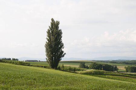 Buckwheat field and big poplar Archivio Fotografico