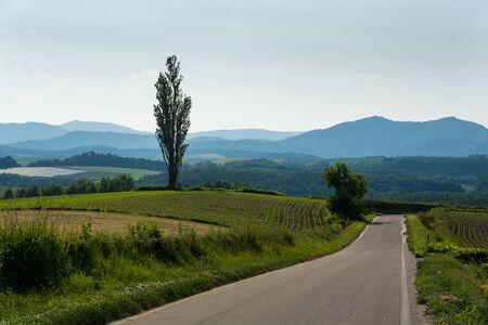 Rural road and big poplar