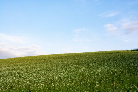 Buckwheat field with white flowers with the blue sky Banco de Imagens