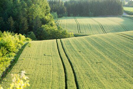 Early summer green wheat fields in hilly area