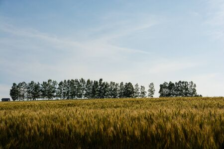 Golden wheat field in summer hilly area with row of birch trees Banco de Imagens