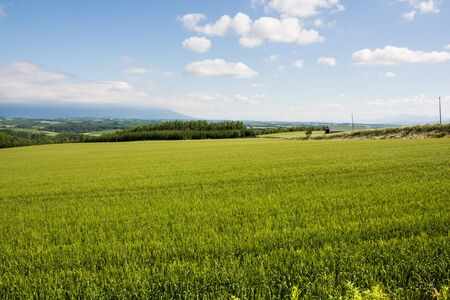 Early summer green wheat field in the hilly area Banco de Imagens