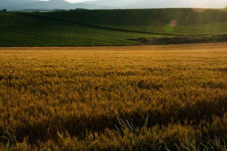 Wheat field shining in the setting sun