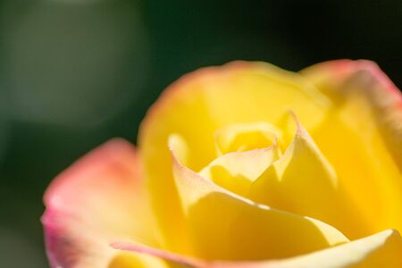 Yellow rose with pink border in the summer garden Banco de Imagens