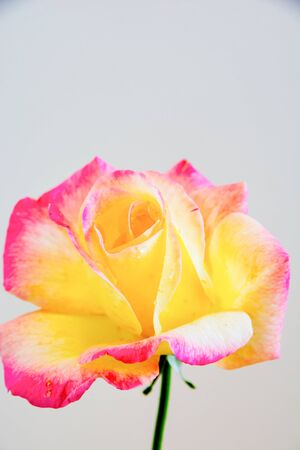 Yellow rose with pink border on white background Banco de Imagens
