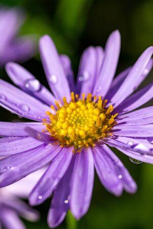 Purple chrysanthemum flower after the rain