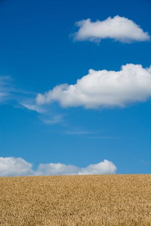Golden wheat field with the blue sky Banco de Imagens