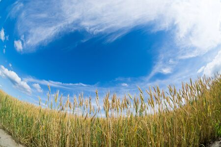 Wheat field before harvest with the blue sky Banco de Imagens