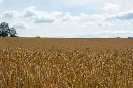 Golden wheat field before harvest