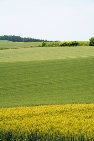 Green and yellow colorful summer wheat field Banco de Imagens