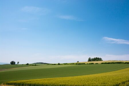 Green wheat field in summer with the blue sky