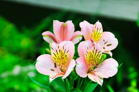 Pink alstroemeria blooming in the summer garden