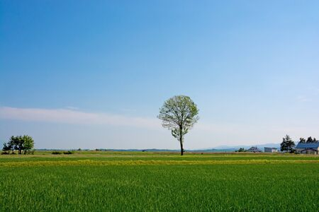 Grove standing in paddy field with the blue sky Archivio Fotografico