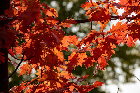 Leaves of the autumn oak which turned red